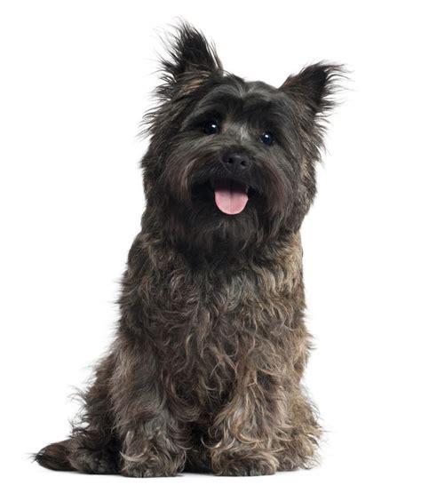trim cairn terrier face 25 best ideas about cairn terriers on pinterest cairn