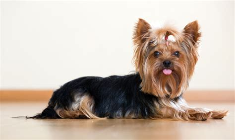 yorkie spotlight breed spotlight terrier animal behavior college