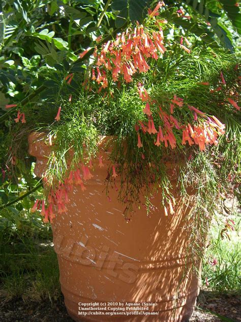 southwest living cubit southwest living plants database