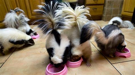 keeping pet skunks care and reasons to have skunks as pets dogs cats pets