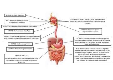 esquema sistema respiratorio humano esquema aparato digestivo 1