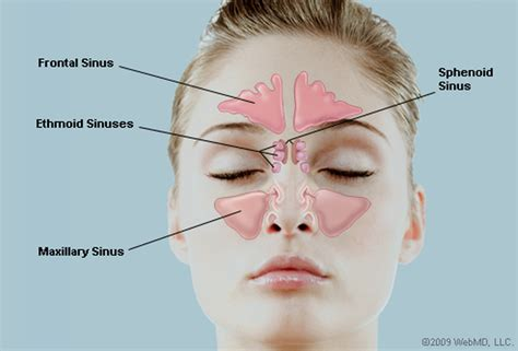 diagram of sinus cavity what are the sinuses pictures of nasal cavities