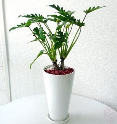 Tanaman Philodendron Xanadu jual tanaman philodendron xanadu bibit