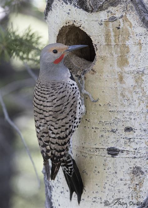 northern flickers with a little competition for the nest