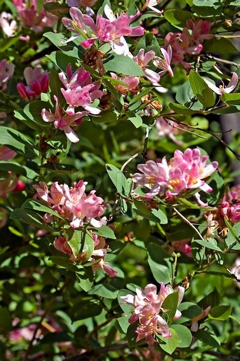 shrub pink flowers flowering shrub with pink flowers dogberry stock photo