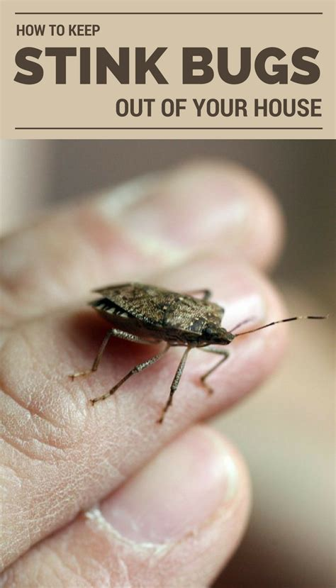 how to keep water bugs out of your house how to keep stink bugs out of your house ncleaningtips com