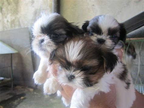 shih tzu forum philippines shih tzu puppies for sale adoption from batangas batangas city adpost