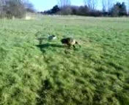 how fast can a pug run tackle football with logan the boxer doovi