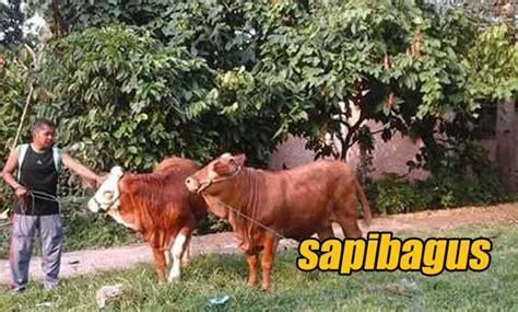 Bibit Sapi Payakumbuh potensi peternakan sapi di payakumbuh sumatera barat