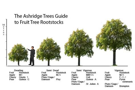 fruit tree spacing chart rootstocks for apple trees pear trees
