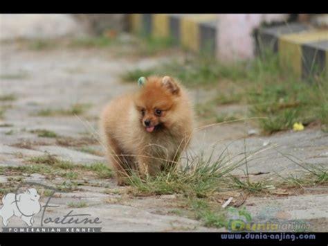 Tempat Soflen Mini And Imut dunia anjing jual anjing pomeranian anakan mini pom imut imut