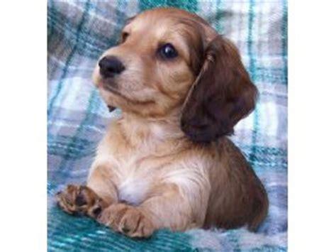 dachshund puppies in michigan miniature haired dachshund puppies michigan dogs in our photo
