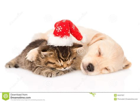 cat and puppy golden retriever puppy and cat with santa hat sleep isolated on white