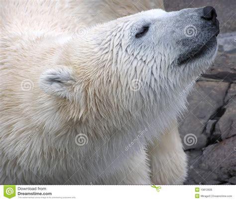 polar up portrait stock photo image 13812606