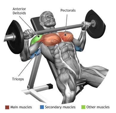 bench press works pectoraux muscles utilis 233 s pour l entra 238 nement developpe incline a la barre musculation