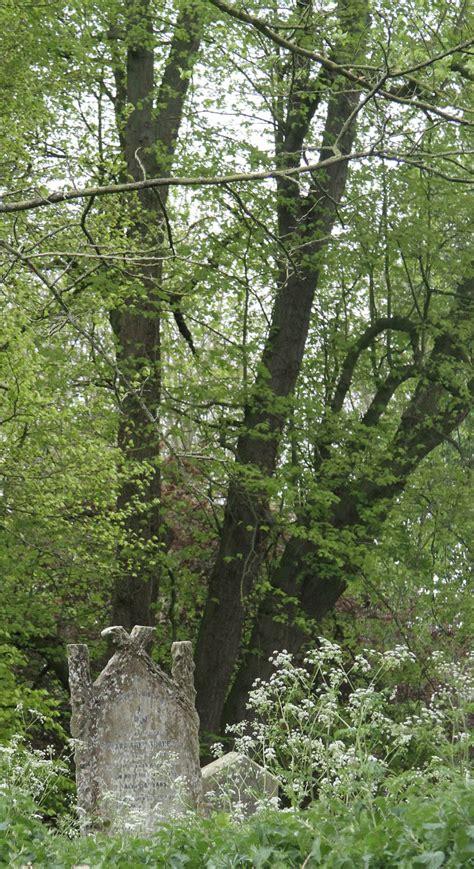 elm tree meaning 100 elm tree meaning chinese elm bonsai tree ulmus
