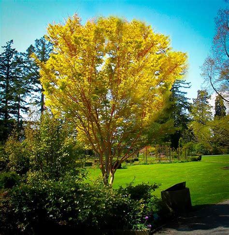 Best Fruit Tree For Backyard Coral Bark Japanese Maple The Tree Center