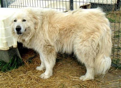 big white breeds large white fluffy breeds breeds picture