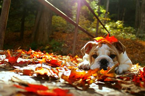 happy fall english bulldog