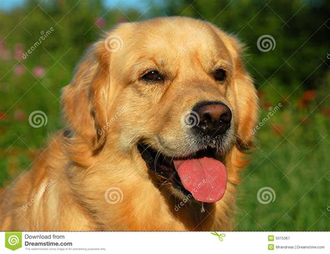 puppy gold gold retriver royalty free stock photography image 5015367