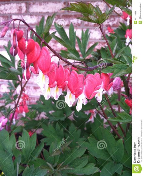 my bleeding heart stock photography cartoondealer com