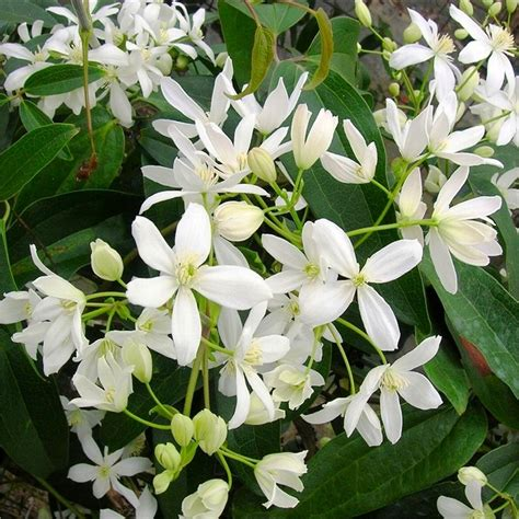 fragrant climbing plants clematis armandii fragrant evergreen climbers