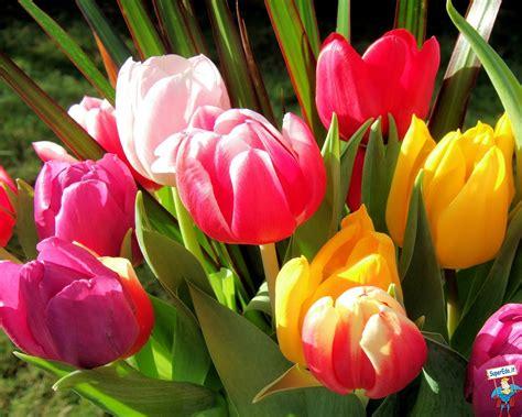 fiori tulipani tulipani pagina 7