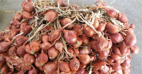 Bibit Bawang Merah cara menyimpan bawang merah untuk bibit pertanian