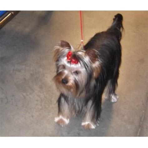 yorkies for sale in huntsville al medallion yorkies terrier stud in huntsville alabama