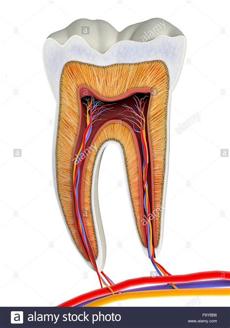 tooth cross section molar tooth cross section artwork the upper biting