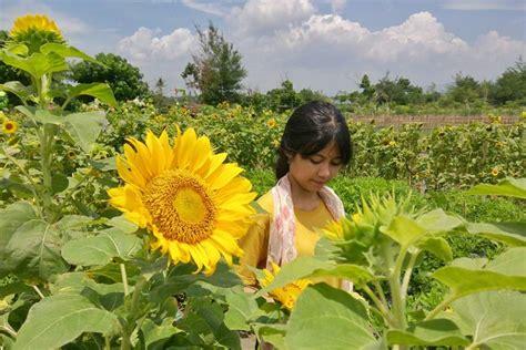 Bibit Bunga Matahari Di Jogja wisata foto hits di taman bunga matahari jogja