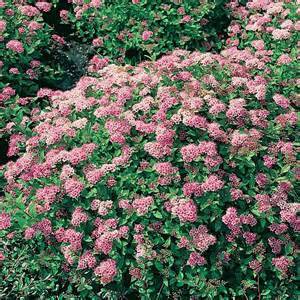 View all plants view all hardy plants amp shrubs view all pink