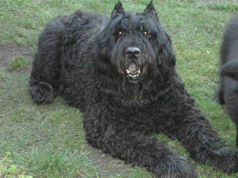 bouvier breed bouvier des flandres dogs breeds pets