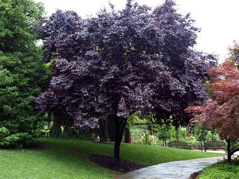 prunus cerasifera thundercloud habit 3 klr flickr photo sharing