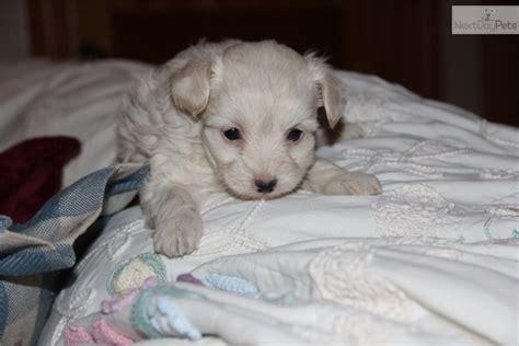 white yorkie poo white yorkie poo puppies white yorkie poo puppies yorkiepoo yorkie poo puppy for