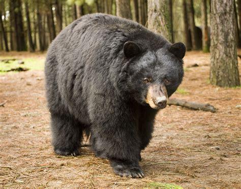 black bear american black bear animal wonder