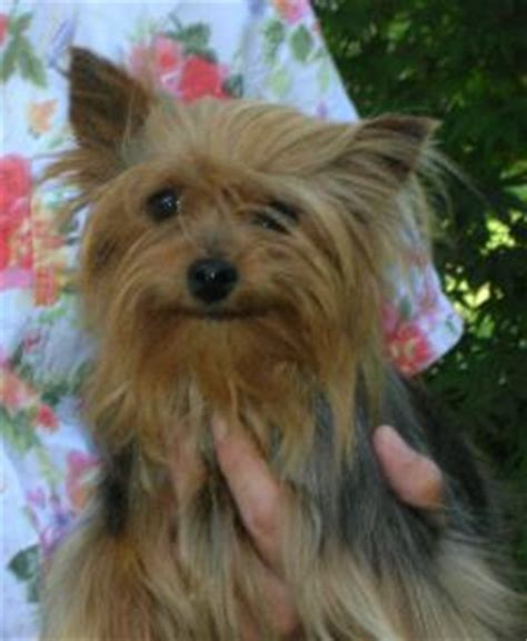 cheap teacup yorkies for sale in ny teacup yorkie puppies for sale in breeds picture