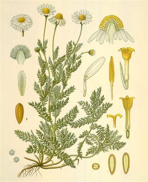 camomilla in fiore piante aromatiche camomilla romana anthemis nobilis l