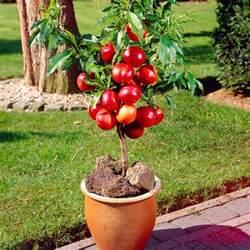 Patio Apple Tree by Super Dwarf Apple Trees Willowbrook Nurseries