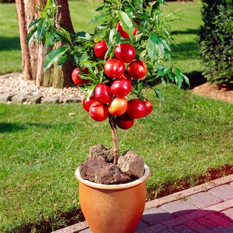 Patio Fruit Plants by A Guide To Patio Fruit Trees The Garden