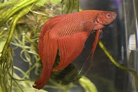 how long do betta fish live cuteness com