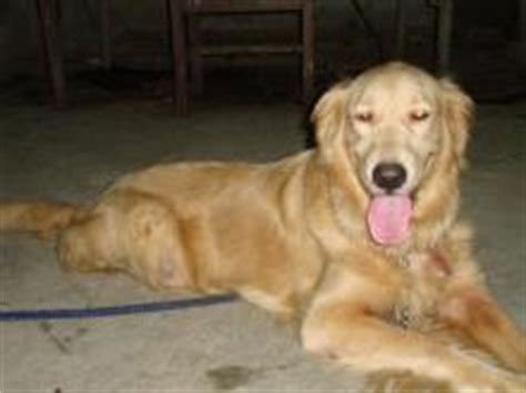 golden retriever heat golden retriever pups for sale offering for sale philippines
