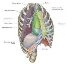anatomy and physiology ii thorax and abdomen flashcards