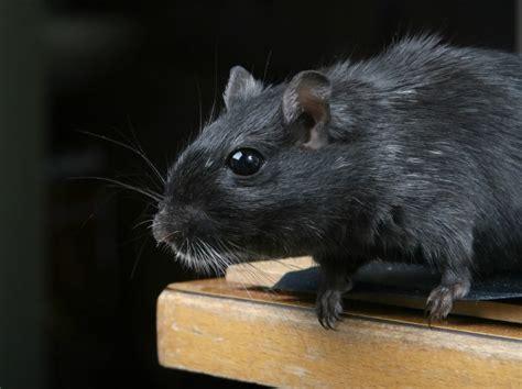 cara membuat jebakan tikus yang efektif cara membasmi tikus rumah dengan efektif teknikhidup com