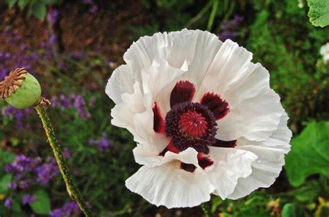 white poppy the gallery for gt white poppy flower