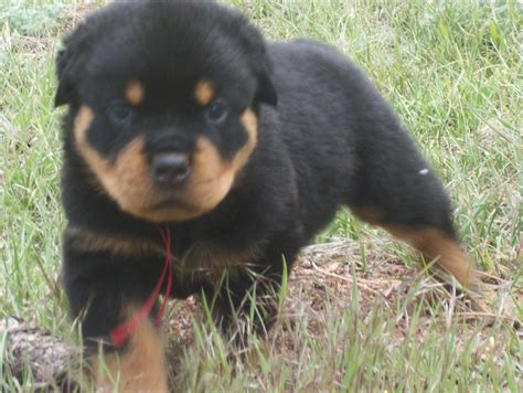 rottweiler breeders in indiana rottweiler puppies indiana for sale from vom reece haus rottweilers