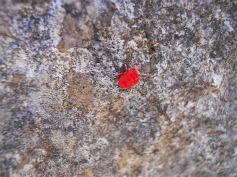 tiny red bugs in bed chaobang s travels mt takanosu 鷹ノ巣山 the falcon s nest