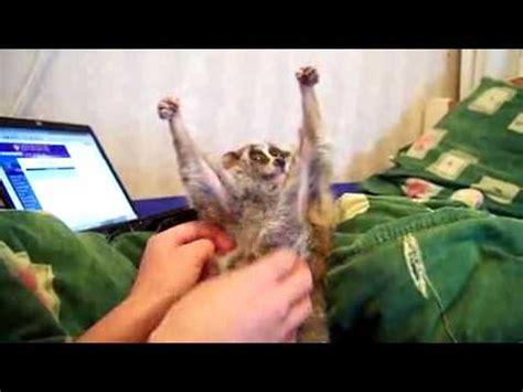 lemur kraulen youtube