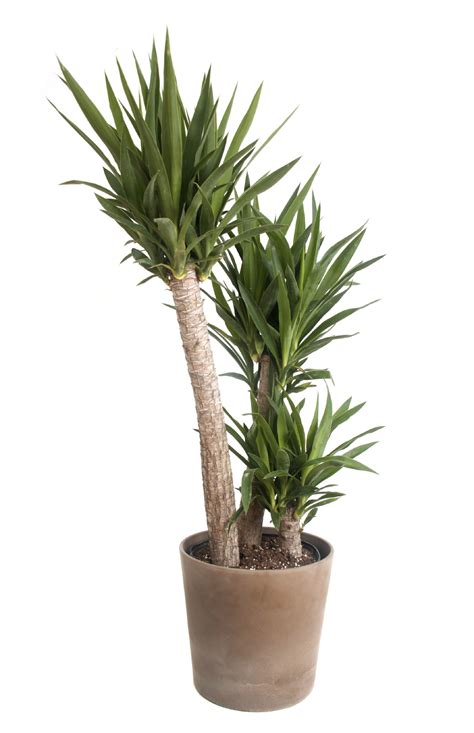 plants indoors should i repot yucca repotting yucca houseplants and