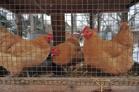 Backyard Chickens Ontario Toronto To Allow Backyard Chickens In Some Neighbourhoods